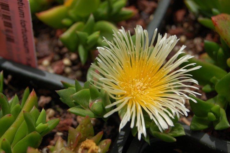 Kana-Flower.jpg