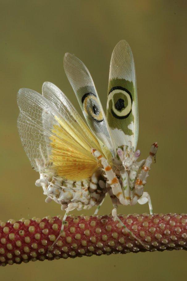 spiny_flower_mantis_2_by_bugalirious_stock.jpg